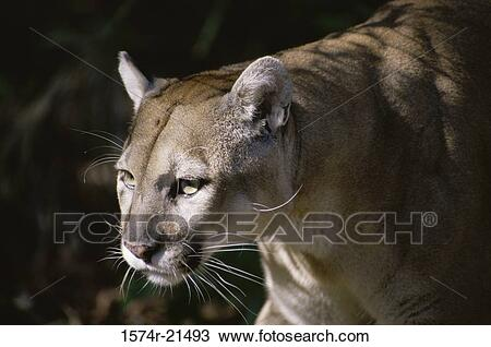 close-up-of-a-florida-panther-stock-image__1574r-21493.jpg