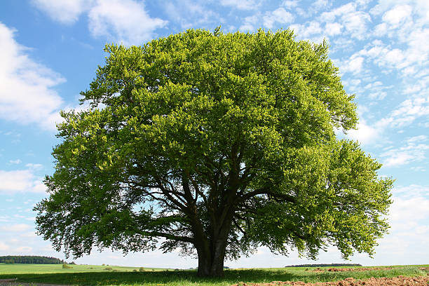 old-beech-tree-in-summer-picture-id155097073.jpg