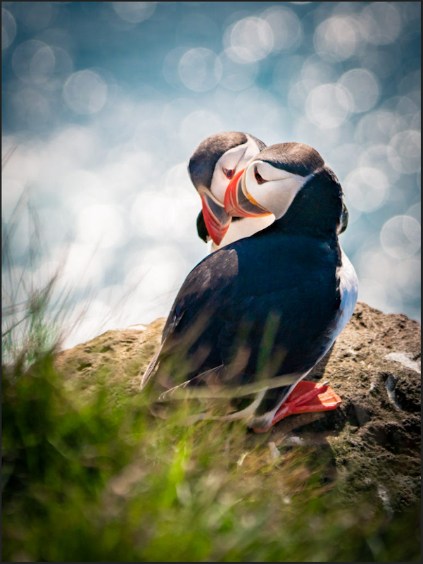 puffin.png