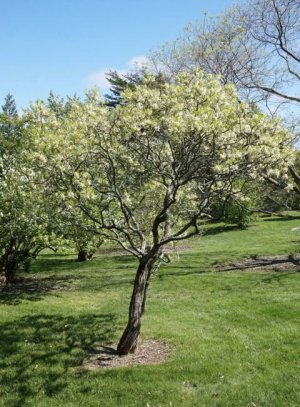 xanthoceras-sorbifolia-2.jpeg